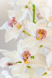 White Cymbidium or Boat orchid flowers. In close view - vertical image Royalty Free Stock Photos