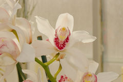 White Cymbidium Orchid Royalty Free Stock Images