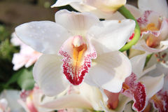 White cymbidium orchids Stock Photography