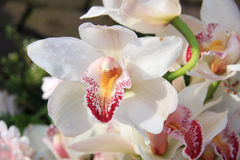 White cymbidium orchids Stock Images