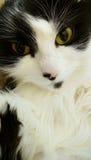white czarnego kota Zdjęcia Royalty Free