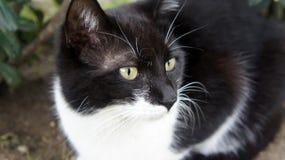 white czarnego kota Obrazy Royalty Free