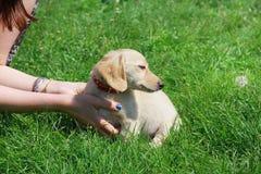 White Dachshund puppy sitting on the green grass Stock Photo