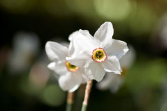 White daffodil Stock Photography