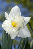 White Daffodil. A white daffodil on a spring day Royalty Free Stock Photography