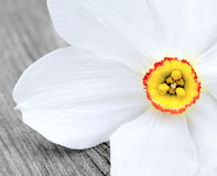 White daffodil royalty free stock photos