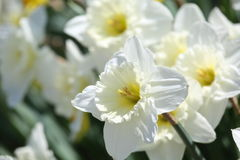 Free White Daffodil Royalty Free Stock Image - 53719896