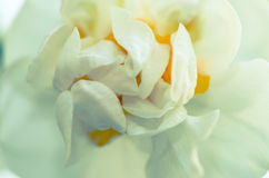 White daffodil Stock Photos