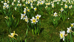 White daffodil Stock Image