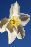 White Daffodil Stock Images