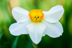 White daffodil Royalty Free Stock Photography