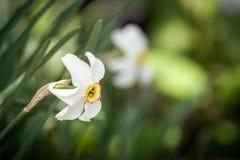 White daffodil flower Royalty Free Stock Photos