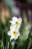 White daffodil flower Stock Image