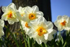 White daffodil flowers blooming in the spring. Royalty Free Stock Photos