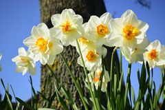 White daffodil flowers blooming in the spring. Royalty Free Stock Images