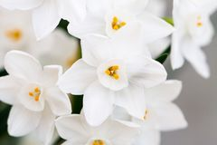 White daffodil flowers close-up royalty free stock images