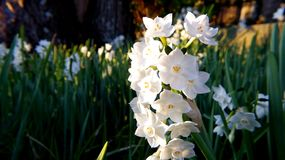 White Daffodil Flowers in Closeup Photography Royalty Free Stock Image