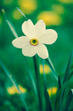 White daffodil flowers Stock Images