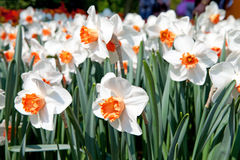 White Daffodil flowers Stock Photography