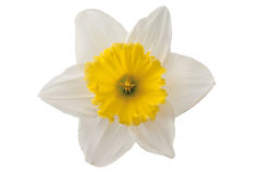 White daffodil Royalty Free Stock Image