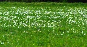 White daffodil on the landscape design of the flower garden. Stock Image