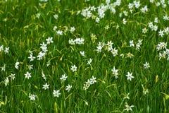 White daffodil on the landscape design of the flower garden. Stock Images