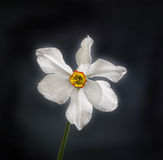 White daffodil (narcissus) flower, close up, black gradient background Royalty Free Stock Image