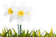 White daffodil narcissus jonquil flower plants Royalty Free Stock Image