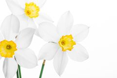 White daffodil narcissus jonquil flower plants Royalty Free Stock Images