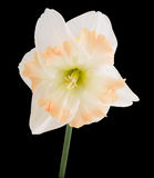 White Daffodil with pink frilled Trumpet Royalty Free Stock Photo