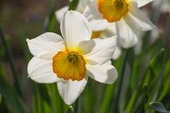White Daffodil spring blossom Stock Photos