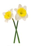 White daffodil Stock Photo