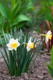 White daffodil with yellow core grows in the garden stock photo