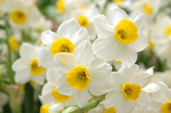 White daffodils Royalty Free Stock Images