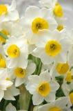 White daffodils Stock Photo