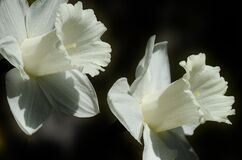 White Daffodils Stock Image