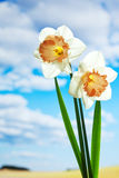 White daffodils against blue sky with clouds Royalty Free Stock Photos