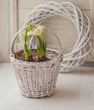 White daffodils in a basket Royalty Free Stock Photos