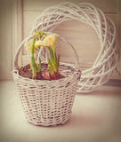 White daffodils in a basket. Tonning Stock Image