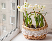 White daffodils in a basket. Royalty Free Stock Image