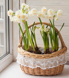 White daffodils in a basket. Stock Images
