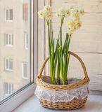 White daffodils in a basket Royalty Free Stock Image