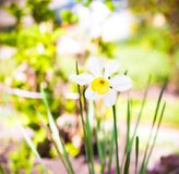 White daffodils bloom in the garden.  Royalty Free Stock Photos