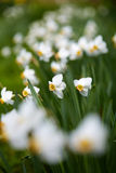 White daffodils Stock Photo