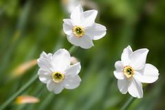 White daffodils in the field Royalty Free Stock Images
