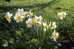 Finally that spring. White daffodils first flowers month month garden illuminated by the evening sun Stock Images