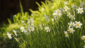 White daffodils. In the flower bed in spring park stock footage
