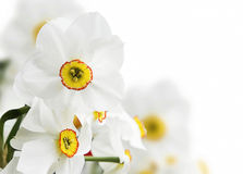 White daffodils flowers Royalty Free Stock Images