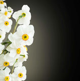 White daffodils flowers on black background Royalty Free Stock Image
