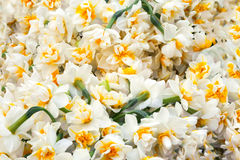 White daffodils flowers bouquet in garden, Turkish nergis mythologic narcissus Royalty Free Stock Images
